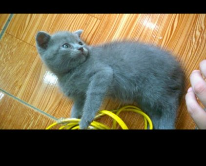 Mèo ALN xám xanh cái 2 tháng tuổi                  tại Hà Nội