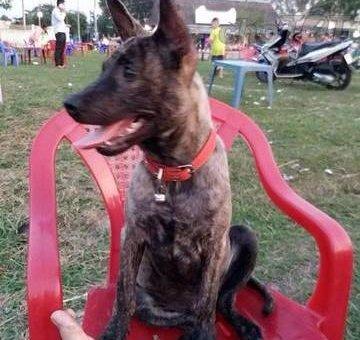 Chó vện phú quốc                 tại TP Hồ Chí Minh