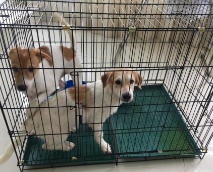 Cho em về nhà mới, giống chó Nhật                 tại TP Hồ Chí Minh