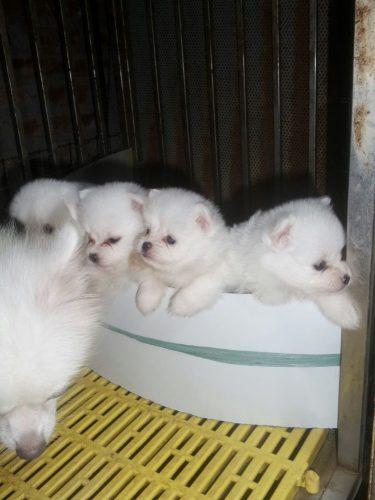 mấy em phốc sóc trắng tại Hà Nội