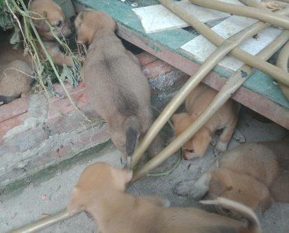 Bán chó ta                 tại Hà Nội
