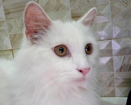 Muốn tìm nhà mới cho em mèo Anh lông dài thuần chủng này                 tại TP Hồ Chí Minh