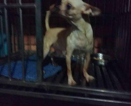 Chihuahua đực                 tại TP Hồ Chí Minh