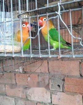 Vẹt lovebirds nomal sinh sản                 tại TP Hồ Chí Minh
