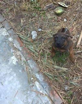cần tiền bán gấp chó phú quốc thuần chủng                 tại TP Hồ Chí Minh
