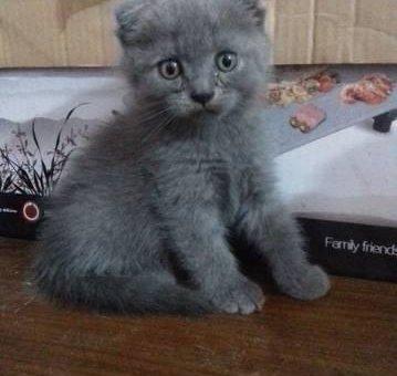 Mèo tai cụp hai tháng khỏe mạnh, nhanh nhẹn.                 tại Hà Nội