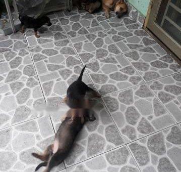 Cần bán đàn chó becgie                 tại Bình Dương