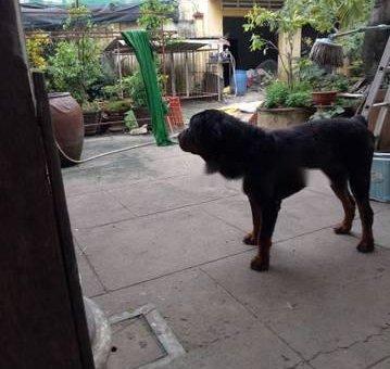 Chó rottweiler đực cần thanh lý gấp                 tại TP Hồ Chí Minh