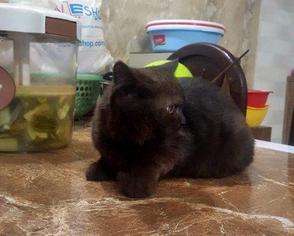 Mèo tìm chủ                 tại Hà Nội
