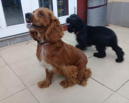 Cần bán lại 02 chó Cocker TBN                 tại TP Hồ Chí Minh