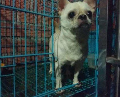 Chihuahua heo lùn đực giống                 tại TP Hồ Chí Minh