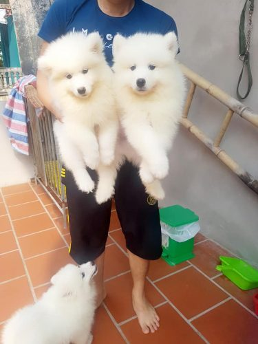 Samoyed 1 đực – 1 cái chó nhà đẻ 2 tháng tuổi tại Hà Nội