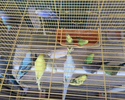 Chim Yến Phụng 70k                 tại TP Hồ Chí Minh