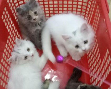Bán 4 bé mèo ALD                 tại TP Hồ Chí Minh