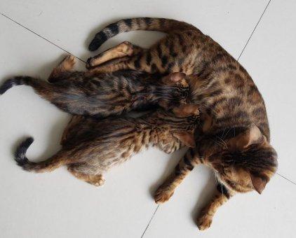 Bán 2 bé mèo Bengal, 2.1 tháng, 2 đực                 tại Hà Nội