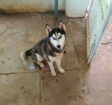 Husky xám, mắt xanh, giống cái, tiêm ngừa đủ                 tại Tây Ninh