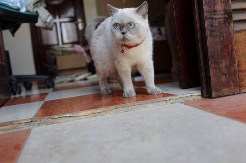 Bán mèo anh lông ngắn tại Hà Nội
