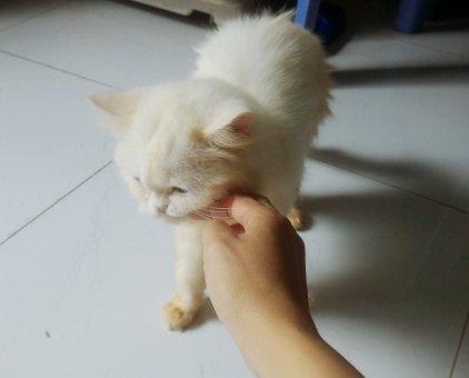 Bán mèo                 tại TP Hồ Chí Minh