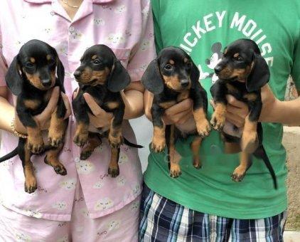 chó lạp xưởng thuần chủng 100% 60 ngày tuổi                 tại TP Hồ Chí Minh
