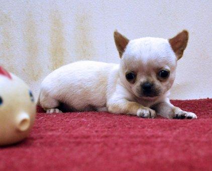 Chihuahua trắng con cực chuẩn đẹp                 tại TP Hồ Chí Minh