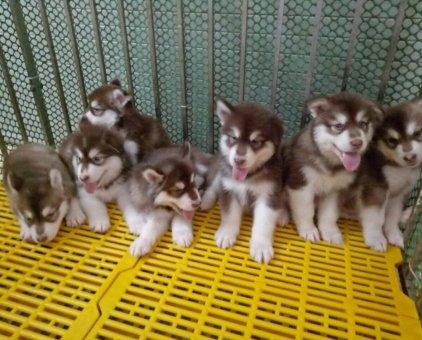 Bán đàn chó Alaska 50 ngày tuổi dễ thương                 tại Hà Nội