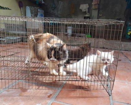 Tìm nhà mới cho 2 em mèo 34 2 tháng tuổi                 tại Hà Nội