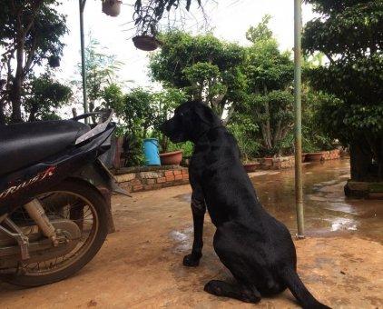 Bán gấp đàn chó Great Dane                  tại TP Hồ Chí Minh