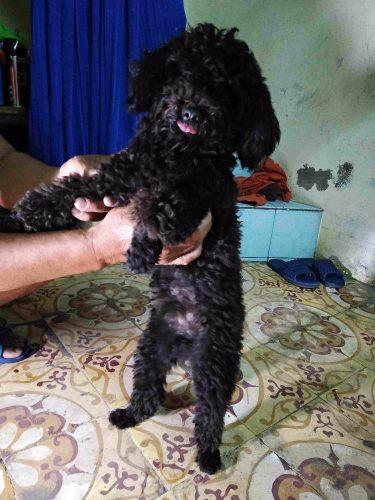 Bán Poodle Toy nhà nuôi thuần chủng tại Hà Nội