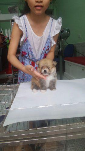 đàn phốc sóc con – bố nhập Thái Lan tại Hà Nội