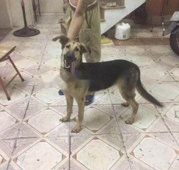 Chó becgie lai 8 tháng tuổi . Ăn khoẻ lớn nhanh                 tại Hải Phòng