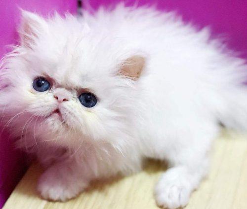 Mèo 34 trắng thuần giá đẹp tại Hà Nội