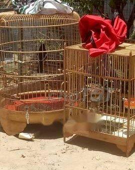 Chim chòe các loại                 tại Quảng Nam