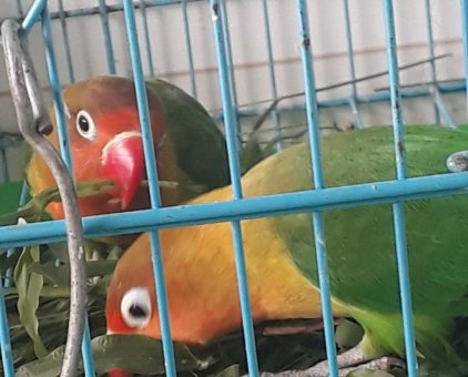 Bán vẹt Lovebird tại Biên Hòa                 tại Đồng Nai