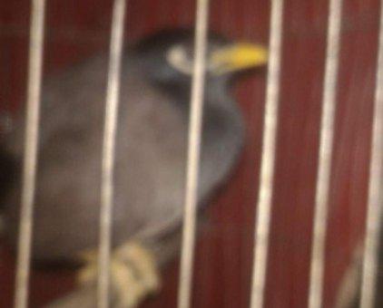Bán chim sáo                 tại Đắk Lắk