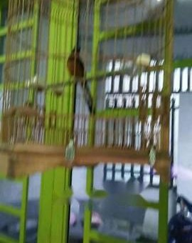 Chim bao Hot đấu                 tại Đồng Nai