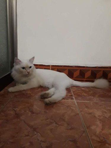 Cần nhượng lại em mèo anh lông dài trắng muốt 1 tuổi tại Hà Nội
