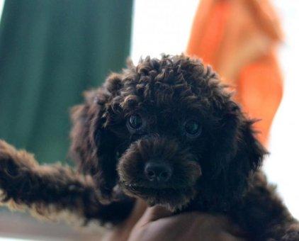 Bán chó Poodle đẹp                 tại Hà Nội