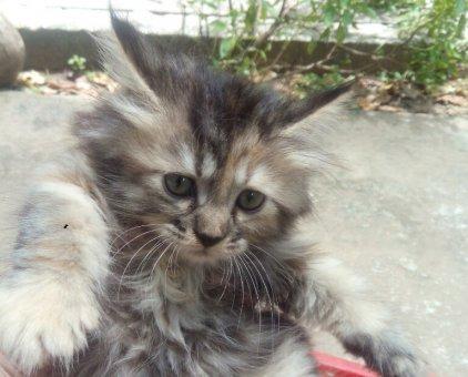 Mèo Anh lông dài                 tại Bến Tre