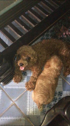Bán poodle đực, 2 tháng nâu đỏ tại Hà Nội