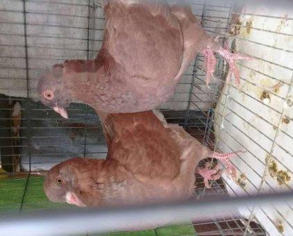 Cần ban vài cặp bô câu gà đe va tơ.                 tại TP Hồ Chí Minh