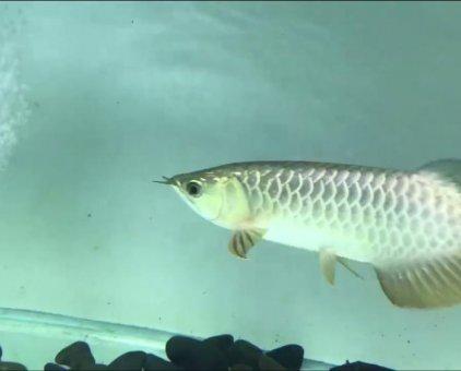 Cá rồng bối tím (blubase)                 tại Cà Mau
