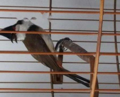 Chim chào mào 1mùa tố chất                 tại TP Hồ Chí Minh