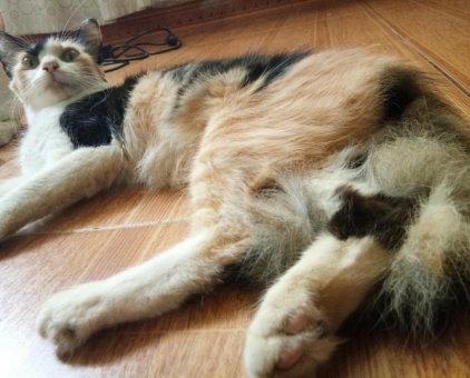 Mèo nhà lai                 tại Hà Nội