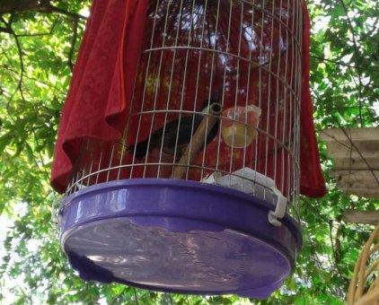 Bán chim khướu bạc má                 tại Hà Nội