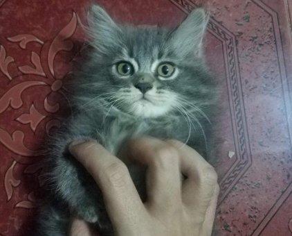Bán mèo Anh lông ngắn                 tại TP Hồ Chí Minh