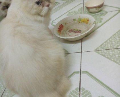 Mèo Ba Tư đực cần tìm chủ                 tại TP Hồ Chí Minh