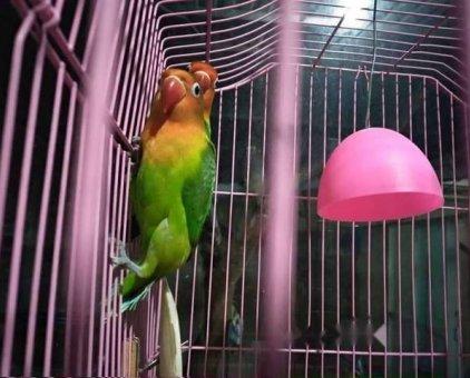 Vẹt lovebirds nomal hàng sinh sản                 tại TP Hồ Chí Minh