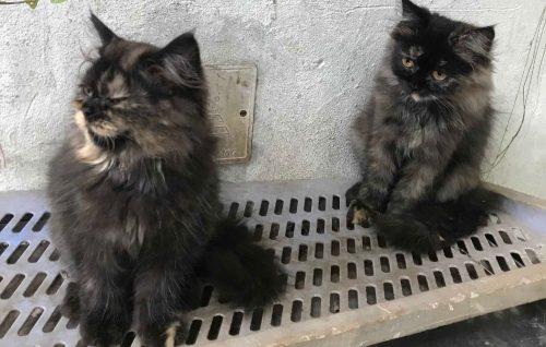 tôi ở Hà Nội, sắp chuyển nhà cần tìm chủ mới cho 2 bé mèo ba tư rất đẹp tại Hà Nội