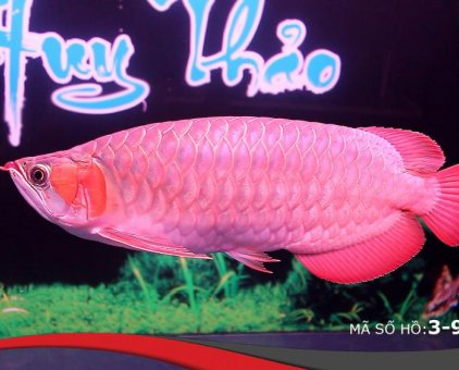 Cá rồng huyết long Yuki nhập khẩu Indonesia                  tại TP Hồ Chí Minh