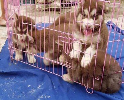 Cần bán chó Alaska con sinh sản tại nhà                 tại TP Hồ Chí Minh